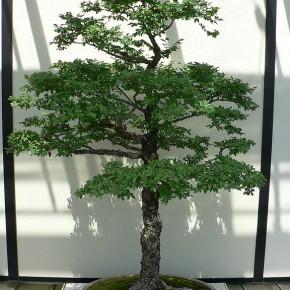 Ulmus parvifolia bonsai