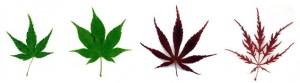 Acer palmatum leaf varieties