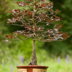 Large Beech Bonsai