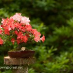 Satsuki azalea bonsai in bloom