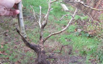 Crateagus with sacrifice branch