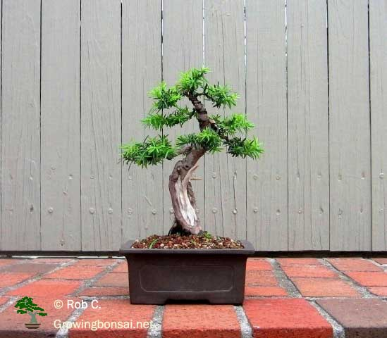 5 year progression of a taxus growing bonsai rh growingbonsai net