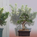 5 year progression of a taxus