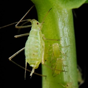 Shipher Wu (photograph) and Gee-way Lin (aphid provision), National Taiwan University