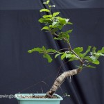 Fagus sylvatica – Summer 2014