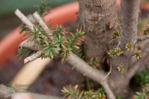 Budding on collected taxus