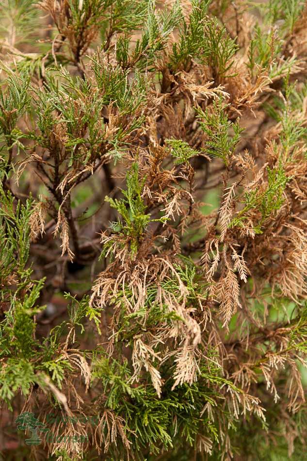 Collected juniperus