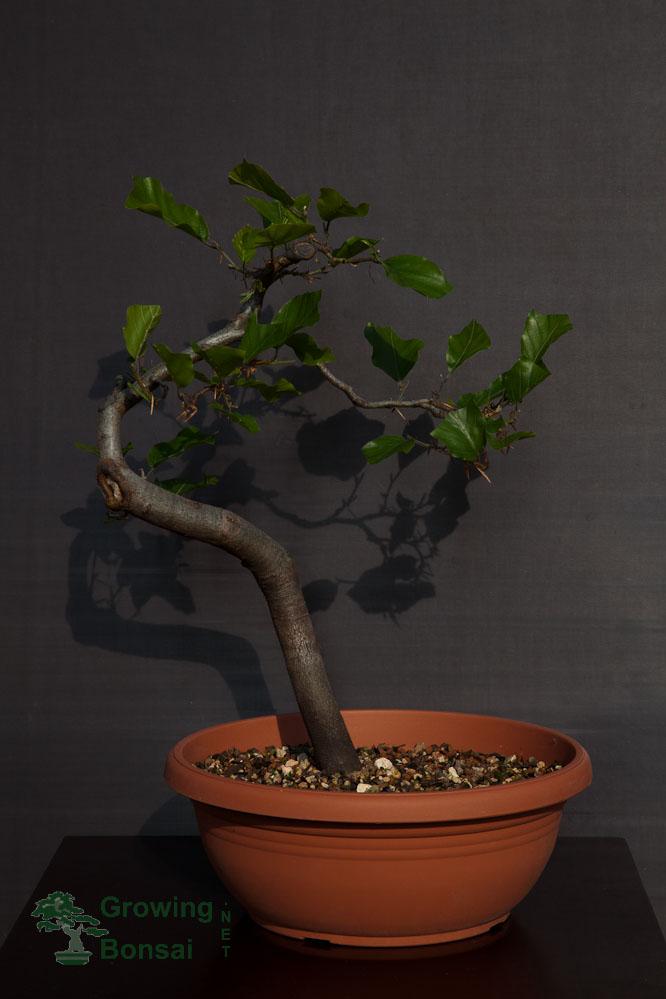 Fagus sylvatica, after leaf cutting
