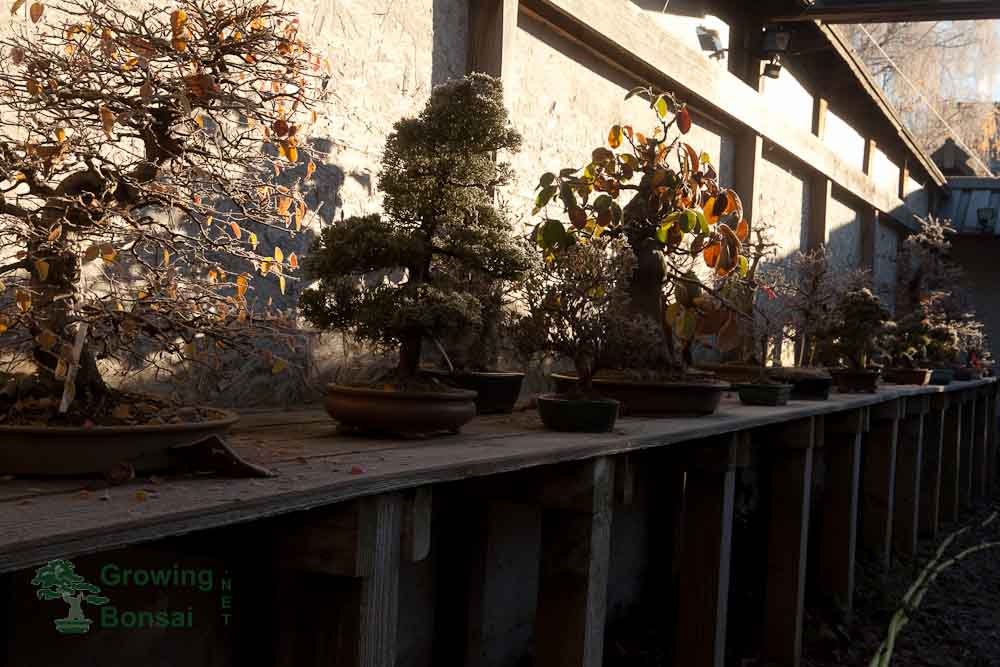 Avoid winter damage in bonsai: Low winter temperatures