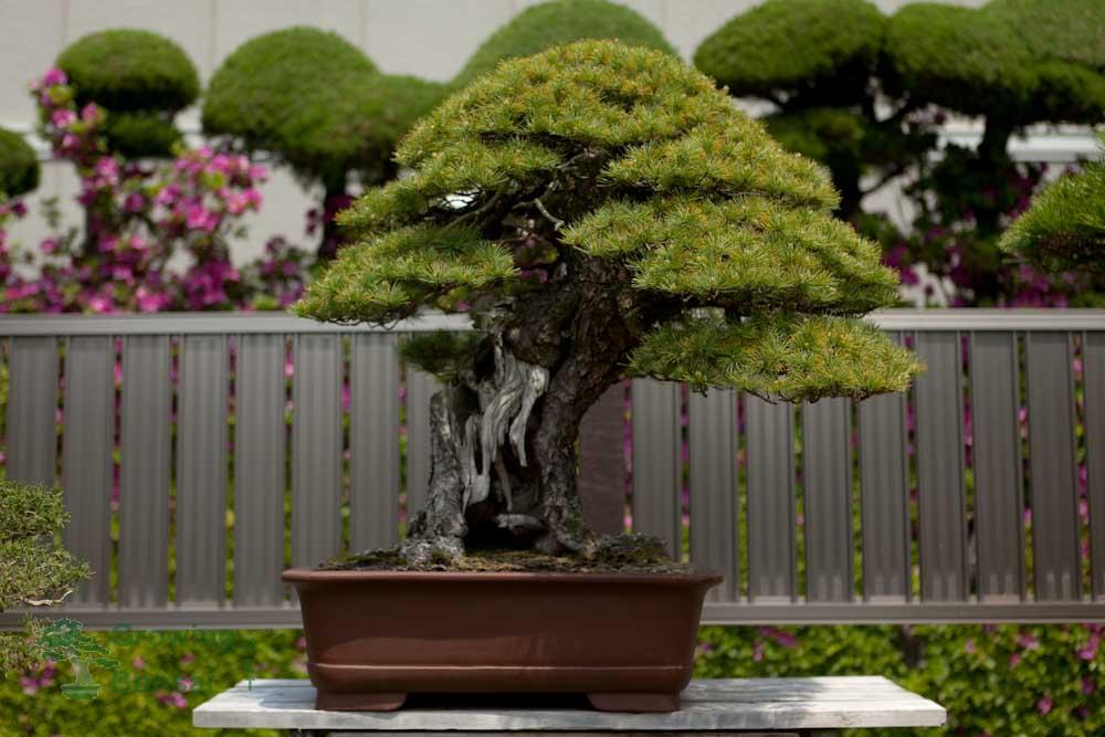 What is a bonsai?