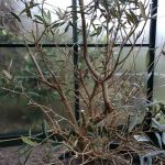 Creating bonsai from Nursery stock: Olive Bonsai