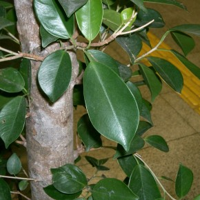 Ficus microcarpa leaves