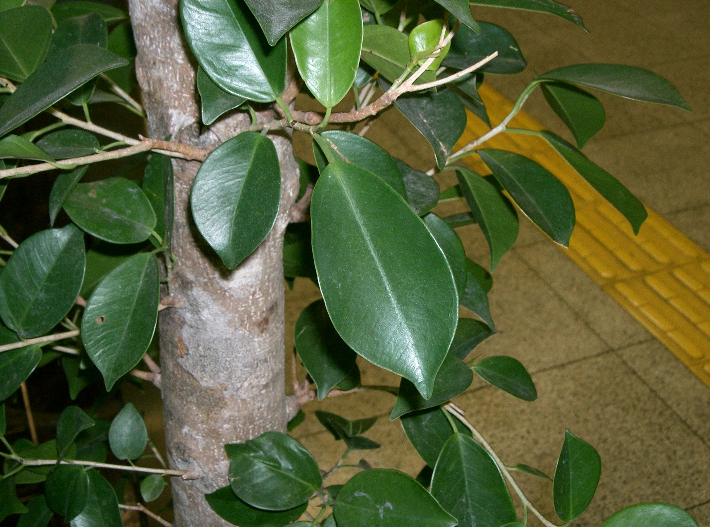 Ficus microcarpa growing bonsai - Bonsai zimmerpflanze ...