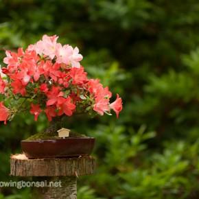Satsuki azalea bonsai in bloom