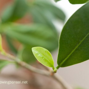 Ficus microcarpa recovering