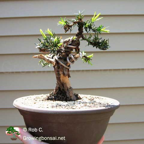 5 Year Progression Of A Taxus Growing Bonsai