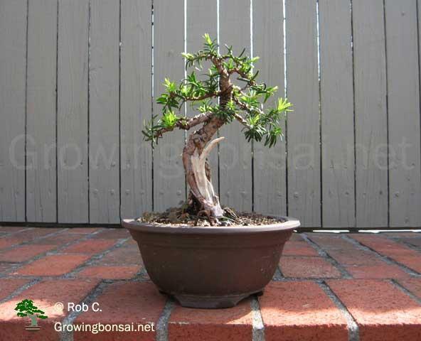 Enjoyable 5 Year Progression Of A Taxus Growing Bonsai Wiring Digital Resources Antuskbiperorg