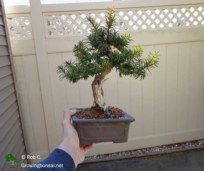 Tremendous 5 Year Progression Of A Taxus Growing Bonsai Wiring Database Scataclesi4X4Andersnl
