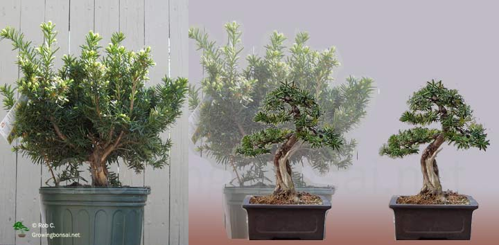 Awesome 5 Year Progression Of A Taxus Growing Bonsai Wiring Digital Resources Antuskbiperorg