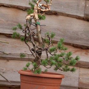 Pinus Sylvestris styled during BURRS 2013 by Jelle Ferwerda with support from Tony Tickle and Hans van Meer.