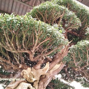 Ramnification on taxus