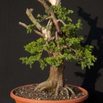 Nebari development and shallow roots for bonsai