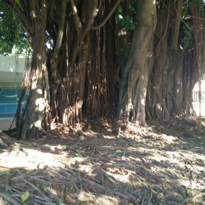 Aerial roots on Ficus