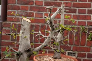 Two collected Carpinus
