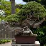 Visiting Kimura Bonsai Garden