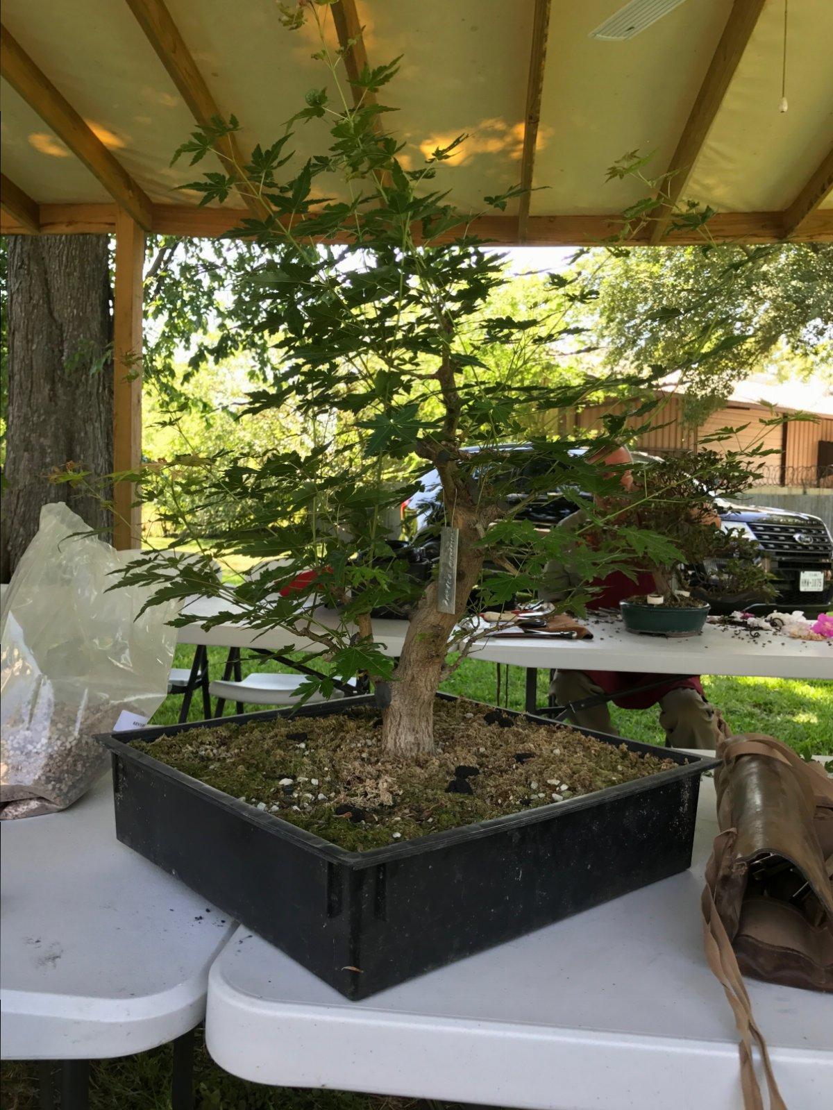 Sensational Developing Bonsai Maple Branches Spring Work Growing Bonsai Wiring Digital Resources Dylitashwinbiharinl