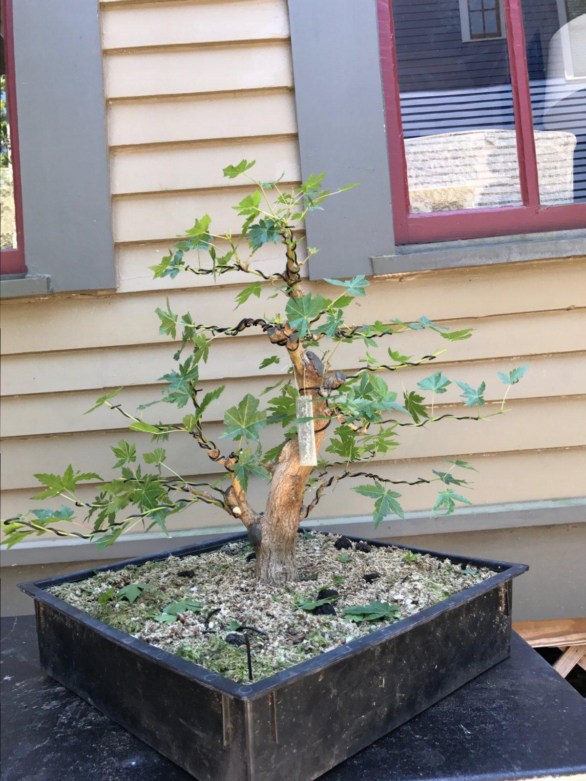 Surprising Developing Bonsai Maple Branches Spring Work Growing Bonsai Wiring 101 Ferenstreekradiomeanderfmnl