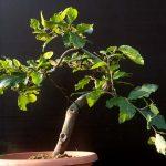 Fagus bonsai taking shape