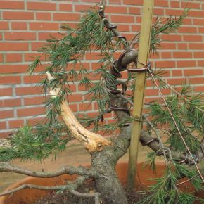 Cedrus - New trunk from sidebranch