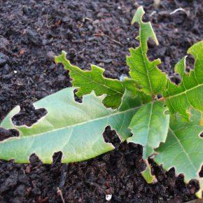 Vine weevil damage(Swindon Bonsai image)