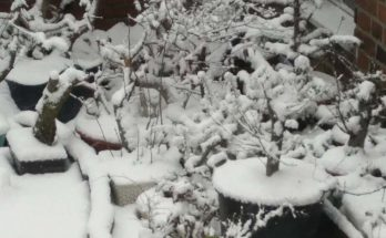 Winter in the bonsaigarden