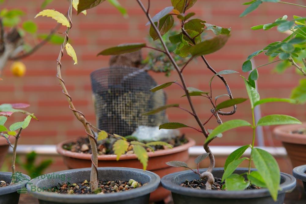Zelkova and malus prepre bonsai