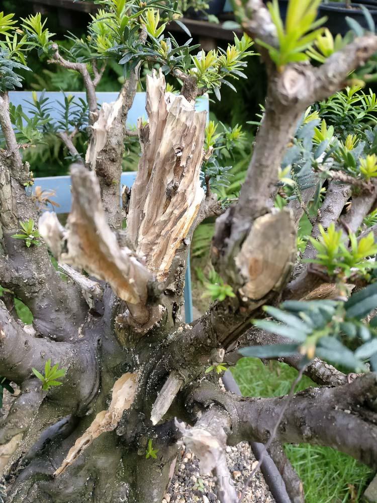 Fresh deadwood on Yew