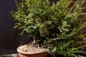 Yew first potted up from the field