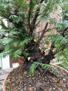 Yew structural prune for bonsai