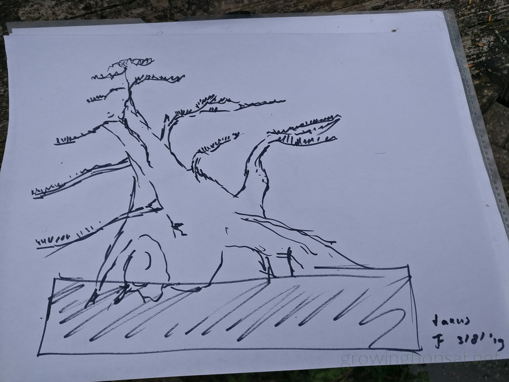Taxus bonsai sketch