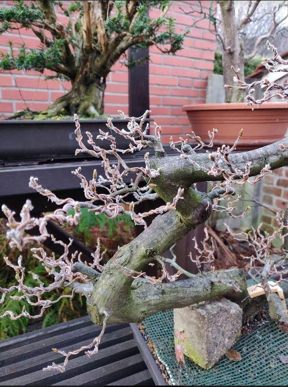 Carpinus fully wired in fall. Fully frozen in winter