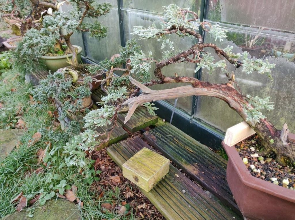 Juniper lightly wired yesterday. Frozen today