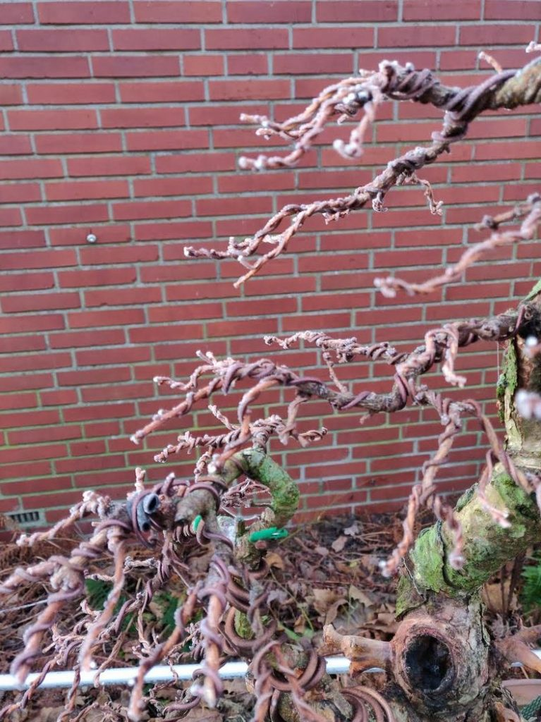 Larch, fully wired 2 weeks before, frozen now