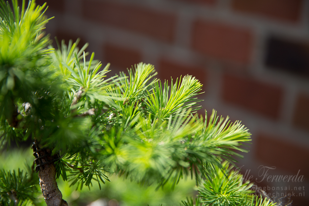 Larch bonsai ready for plucking