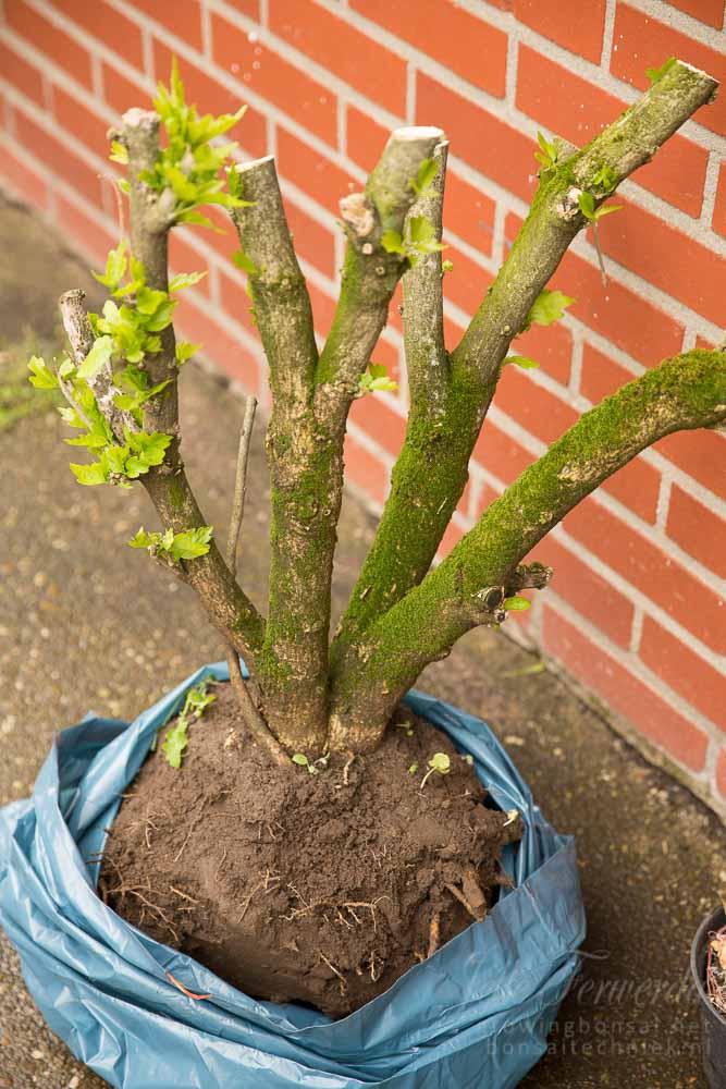 Hibiscus freshly dug