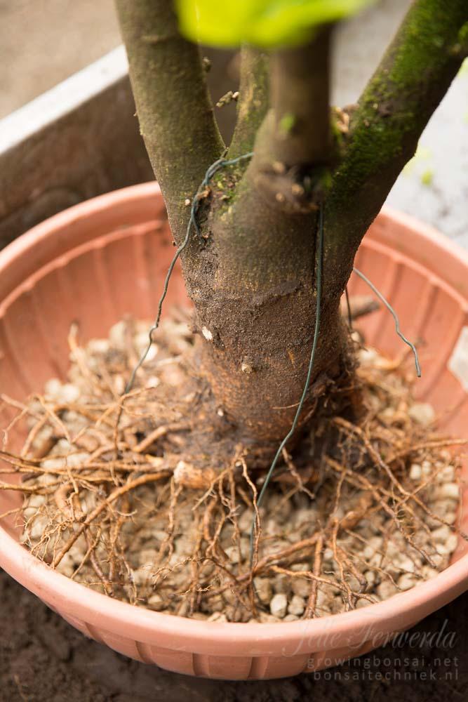Hibiscus nebari in pot
