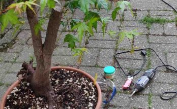 Pre-bonsai maple ready for trunk removal