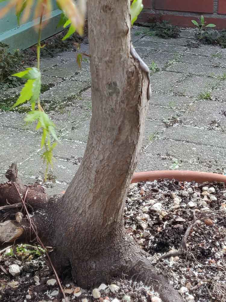Maple prebonsai trunkline