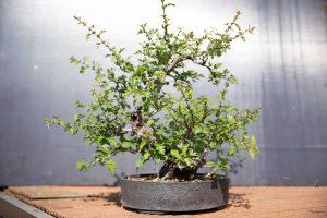 Bonsai hawthorn after spring trim