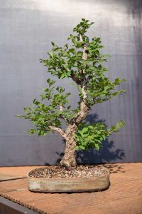 Bonsai ulmus after spring trim